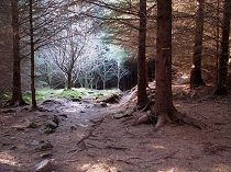 forest between Geirionydd and Crafnant