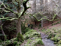 Moss covered trees alongside the forest trail