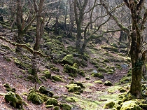 Moss covered boulders in the woodlands alongside the river crafnant