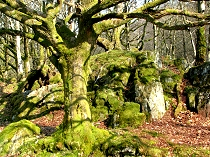 Moss covered trees in the woodlands