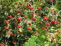 berries of the Rowan tree or Mountain Ash