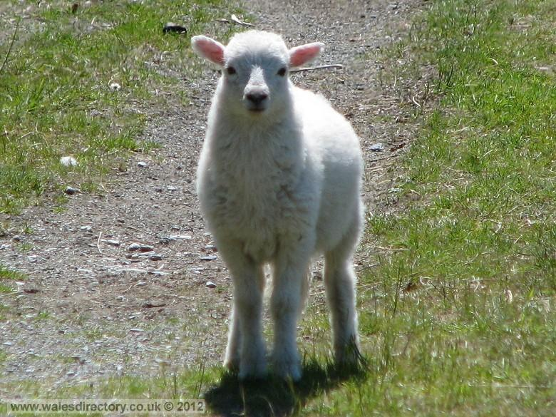 Enlarged picture of Welsh Lamb