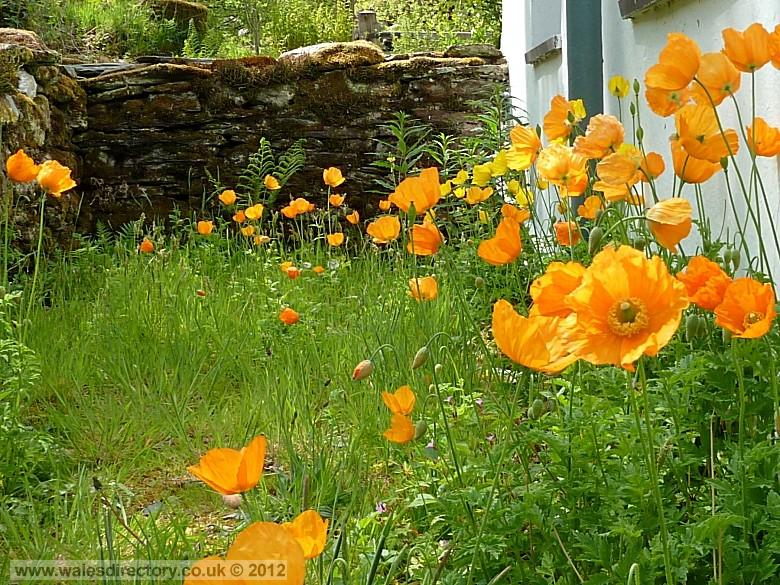 Enlarged picture of Lledr Valley Poppies