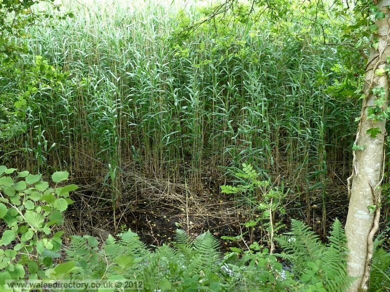 Enlarged picture of Reed Beds
