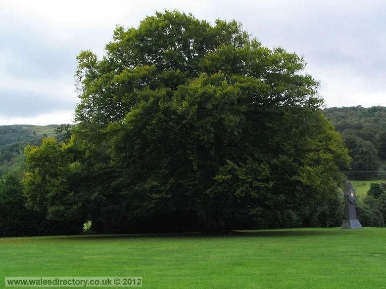 Enlarged picture of Big Tree Machynlleth