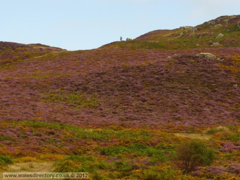 Enlarged picture of Purple Heather in September