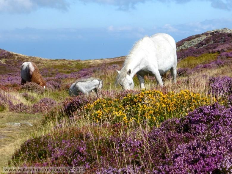 Enlarged picture of Carneddau Ponies