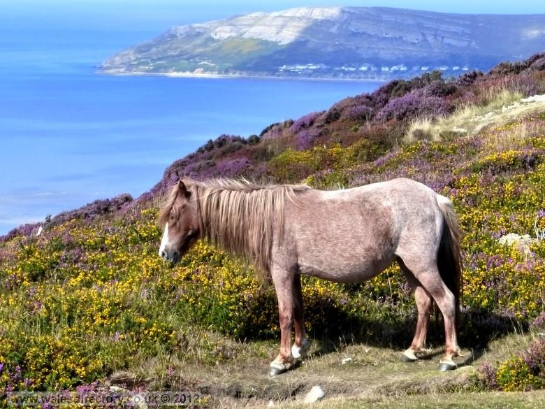 Enlarged picture of Pony and the Great Orme
